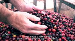 普洱咖啡 中国咖啡产地纪录片