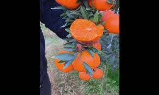 【抖音】果蔬行业-橙子案例